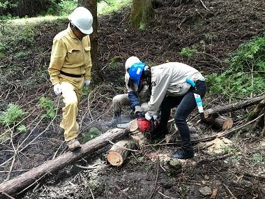 チェーンソーで木を切り倒します
